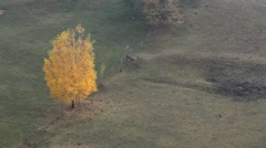 Isolated yellow autumn tree Stock Footage