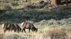 Cow Elk Feeding Stock Footage