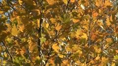 Yellow foliage Stock Footage