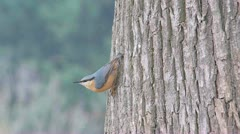 Eurasian nuthatch Stock Footage