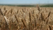 Stock Video Footage of Close Up Golden Wheat Fields, Cereal in Summer Season, Countryside, Bio, Gold