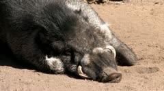 1080p Wild Boar Stock Footage