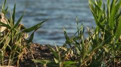 nestlings gulls, shallow depth of field 6 - stock footage