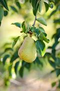 Stock Photo of pear hanging from a branch
