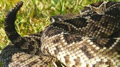 Stock Video Footage of Eastern Diamondback Rattlesnake