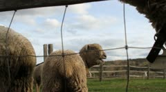 Stock Video Footage of Bleating Sheep