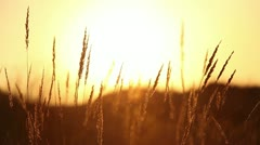 Dry grass at sunset Stock Footage
