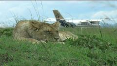 Lion cub Olkiombo Pride Stock Footage
