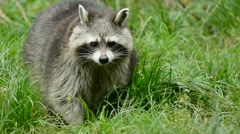Raccoon walking through a green meadow towards the camera Stock Footage