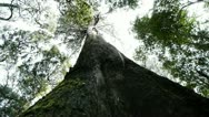 Stock Video Footage of giant eucalyptus tree