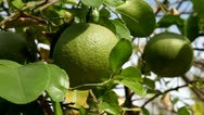 Picking grapefruit from tree Stock Footage