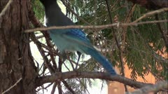Stellar's Jay Bird in Pine Tree Stock Footage