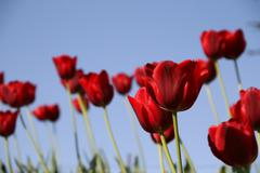 Red tulips field on a blue sky Stock Photos