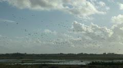 Flock of geese landing on wetland water Stock Footage