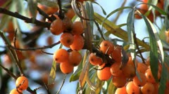 Sea-buckthorn berries Stock Footage
