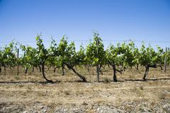 Vineyards at summer Stock Photos