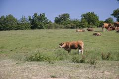 Stock Photo of cows on the meadow