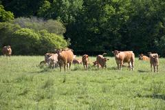 cows on the meadow - stock photo