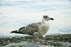 sea-gull - stock photo