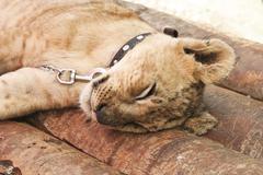 Stock Photo of sleeping lion