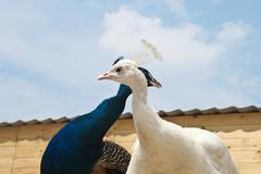 Peacocks Stock Photos