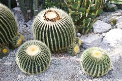 Stock Photo of cactuses