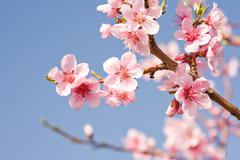 gorgeous spring cherry flowers in sunshine. - stock photo