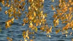 Yellow autumn foliage Stock Footage