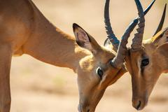 impala butting heads - stock photo