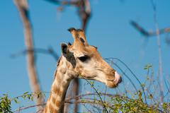 giraffe licking lips - stock photo