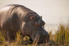 Grazing hippopotamus Stock Photos