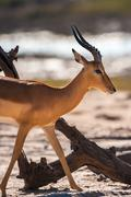 impala walking - stock photo