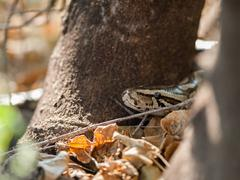african rock python head - stock photo