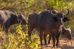 cape buffalo (syncerus caffer) - stock photo