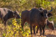 Stock Photo of cape buffalo (syncerus caffer)