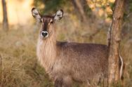 Stock Photo of ellipsen waterbuck
