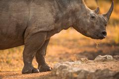 rhinoceros in late afternoon - stock photo