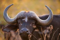 african buffalo - stock photo