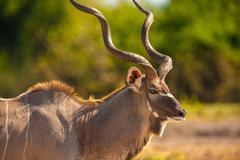Kudu bull Stock Photos