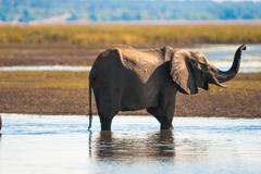 african bush elephant - stock photo