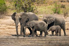 Afrikkalainen bush norsuja Kuvituskuvat