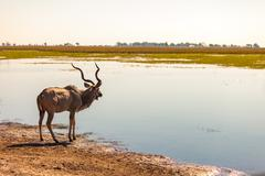 kudu at river - stock photo