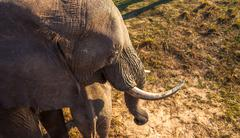 high angle view of elephant - stock photo