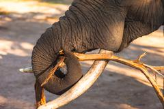 Stock Photo of african bush elephant