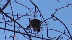 Forest bird pecks rowan Stock Footage