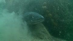 Conger eel cave 2 Stock Footage