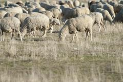 Sheep grazing in the field. Stock Photos