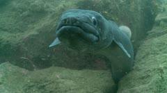 Conger eel cave 3 Stock Footage
