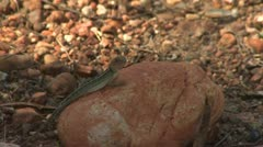 Lizard Jumps From Stone Stock Footage