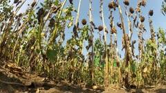 Combine harvesting sunflower - stock footage